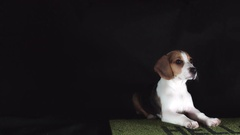 4k Shot of a Beagle Puppy Dog Seating Educated Stock Footage