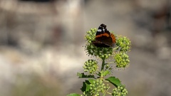 Pretty red admiral butterfly sitting on plant Stock Footage