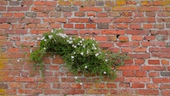 Bindweed trembling in the wind on a red brick wall Stock Footage