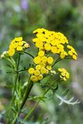 Medicinal plant common tansy ( Lat. Tanac?tum vulg?re ) Stock Photos
