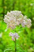 Medicinal plant Yarrow (Achillea millefolium) Stock Photos