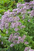 Medicinal plant Oregano ( Latin name Origanum ) Stock Photos
