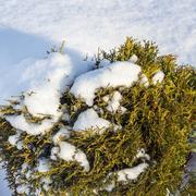Ornamental dwarf form of the shrub of Western Thuja ( Thuja occidentalis ) Stock Photos