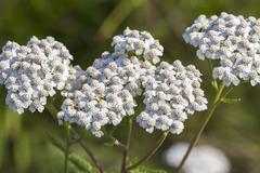 Medicinal wild herb Yarrow ( Achillea millefolilium ) Stock Photos