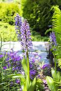 The common Orchis (Orchis milit?ris) is a perennial herbaceous plant of the.. Stock Photos