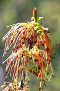 Maple or American maple ( Latin name Acer negundo) Stock Photos