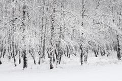 Birch grove after snowfall. Russia, Siberia, Novosibirsk region Stock Photos