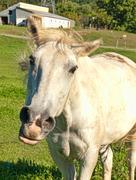 Horse snorting Stock Photos