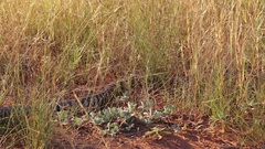 Big Tiger Python snake in Australia outback Stock Footage