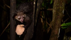 Aye-Aye eating at night, Madagascar Stock Footage