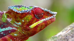 Panther Chameleon, Madagascar Stock Footage