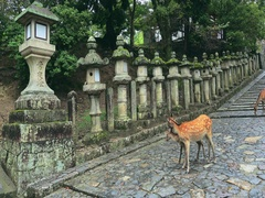 Deer standing in front of the Stone lanterns in Kasuga-taisha shrine Stock Footage