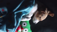 4k Shot of a Beagle Puppy Dog Sleeping with Toy, from above Stock Footage