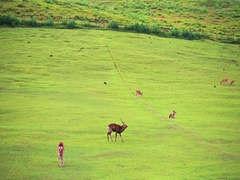Nara deer roam free in Nara Park, Japan for adv or others purpose use Stock Footage