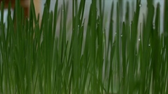 Dolly of wheat grass in greenhouse Stock Footage