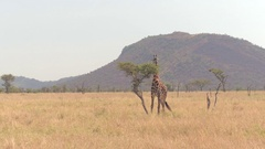 CLOSE UP: Young giraffe feeding high up on an acacia tree tearing off the leaves Stock Footage