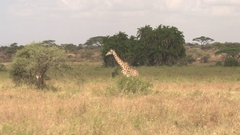 AERIAL: Young giraffe walking toward acacia tree canopy and starts eating leaves Stock Footage