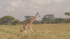 CLOSE UP: Giraffe walking among animals grazing on dry savannah grass in safari Stock Footage