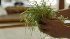 Close up handling wheat grass sprouts Stock Footage