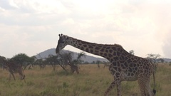 CLOSE UP: Tall giraffe roaming in African savannah wilderness spitting saliva Stock Footage
