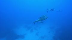 Bottle nose dolphins, underwater shot - Pacific Ocean, Roca Partida Stock Footage