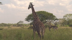 CLOSE UP: Giraffe standing on field, chewing grass and observing environment Stock Footage
