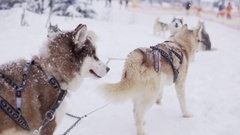 Team of Siberian Husky in the Snow waiting to run. Impatience Stock Footage