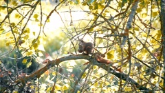 Squirrel sitting on a branch with a nut in paws Stock Footage