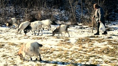 Shepherd pasturing a few goats in winter Stock Footage
