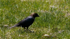 Brown-headed Cowbird (Molothrus ater) eating from lawn. Stock Footage