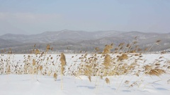Dry grass is on snowy field. Windy winter day. Stock Footage