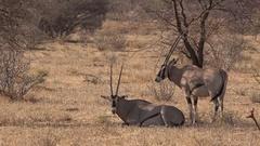 2 Oryx antelope resting , UHD 4K Stock Footage