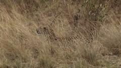 Leopard stalking a prey in the bush Stock Footage