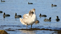 Gray swan cleans its feathers. Stock Footage