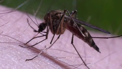 Close-up shot of a mosquito blood suckig Stock Footage