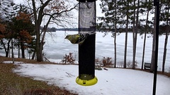 Goldfinches and Redpolls in slow motion fight over thistle feeder in winter. Stock Footage