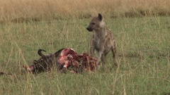 Hyena eating the intestines of a wildebeest Arkistovideo