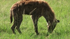 Hyena vomits and then rolls himself on the waste Stock Footage