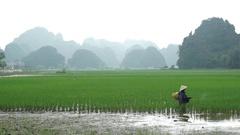 Vietnam, worker in rice field Stock Footage