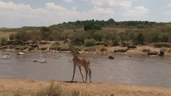 Giraffe waiting to drink at a hippo infested pool Stock Footage