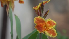 Most Beautiful Flower with Water Drops with Wind Blowing Stock Footage