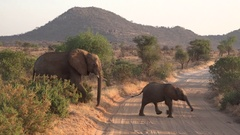 African elephant with juvenile are crossing a road in nature reserve, UHD 4K Stock Footage