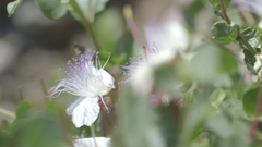 Caper plant in detail on a beautiful day Stock Footage