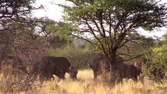 Buffalo Herd Eating & Running Stock Footage