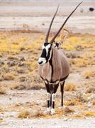 Front view of gemsbok, gemsbuck, Oryx gazella, antelope. Native to the Kalahari Stock Photos