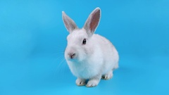 Small white rabbit sitting and sniffing, looking at the camera Stock Footage