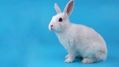 Little white rabbit sits sideways and sniffing Stock Footage
