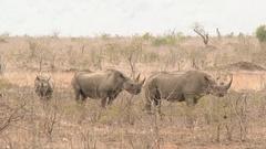 Black Rhinocerus (Diceros bicornis) three standing together Stock Footage