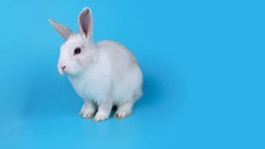 Small white rabbit sits sideways, looking to the camera and sniffing Stock Footage