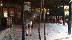 Elands invading a lodge dining room during draught Stock Footage